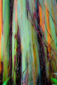 Rainbow Eualyptus