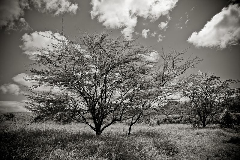 """""""Treescape - Mono"""" - Oahu, Hawaii, USA"""