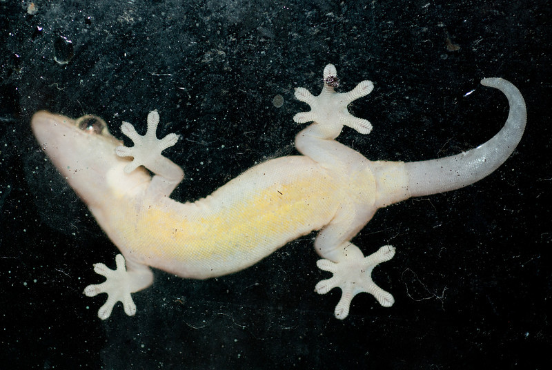 """<span id=""""title"""">Gecko Underside</span> <em>Kapoho, Hawaii</em> This little fellow was on the outside of a window in our bedroom, so I took the opportunity to get a shot of its awesome feet. Geckos are cool."""