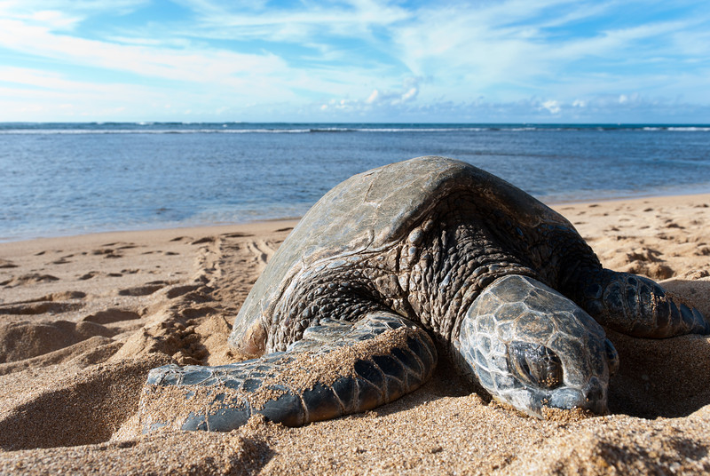 "<span id=""title"">Sea Turtle</span> <em>North Shore, Oahu</em> They look so sleepy..."