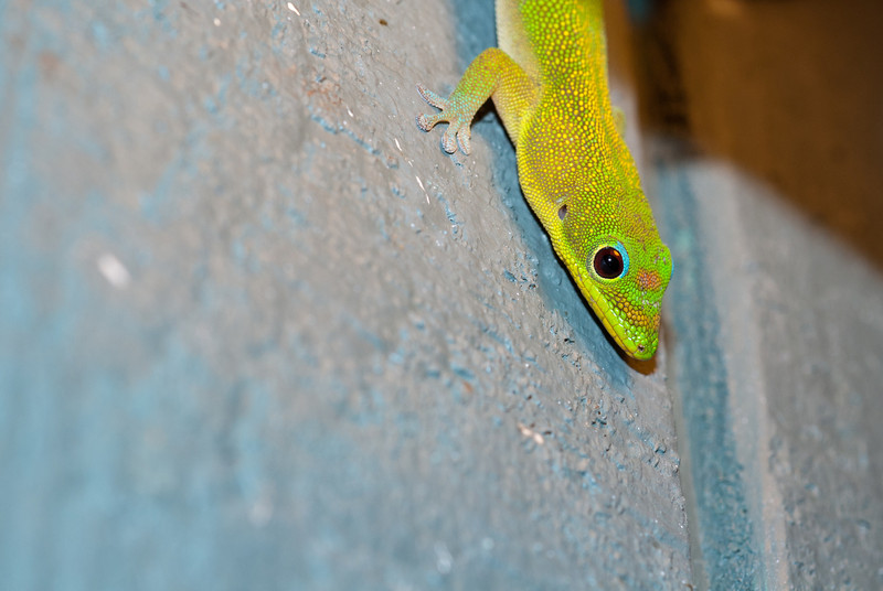 """<span id=""""title"""">Gecko</span> <em>Kapoho, Hawaii</em> We had a lot of these brilliantly colored lizards at our vacation rental. Not sure why they were concentrated around the bedroom though..."""
