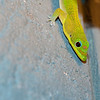 "<span id=""title"">Gecko</span> <em>Kapoho, Hawaii</em> We had a lot of these brilliantly colored lizards at our vacation rental. Not sure why they were concentrated around the bedroom though..."