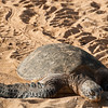 "<span id=""title"">Sea Turtle</span> <em>North Shore, Oahu</em> This beach had at least 3 turtles on it, with several more out in the water eating seaweed. I like the trails they make."