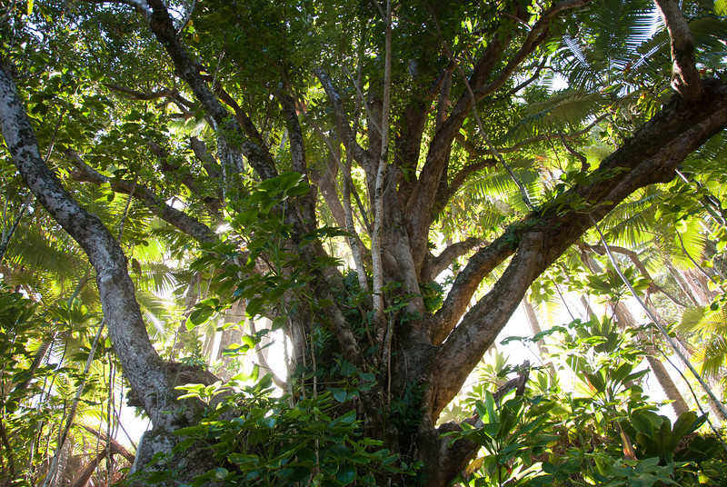 """<span id=""""title"""">Big Tree</span> <em>Onomea Bay, Hawaii</em> If you can peel your eyes from the unbelievably scenic bay, I suggest turning around so you can see the awesome flora. The backlighting turned out really well here."""