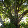 "<span id=""title"">Big Tree</span> <em>Onomea Bay, Hawaii</em> If you can peel your eyes from the unbelievably scenic bay, I suggest turning around so you can see the awesome flora. The backlighting turned out really well here."