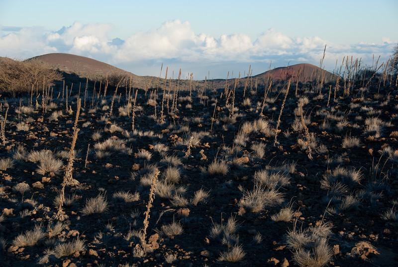 """<span id=""""title"""">Scrubby</span> <em>Mauna Kea, Hawaii</em> Some interesting brush on our little hike up to the top of a hill to watch the sunset."""