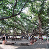 Banyon tree in Lahaina - it's ALL. One.Tree.