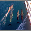 Spinner dolphins in front of the catamaran