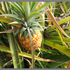 Requisite pineapple picture from the Dole Pineapple Plantation, Oahu