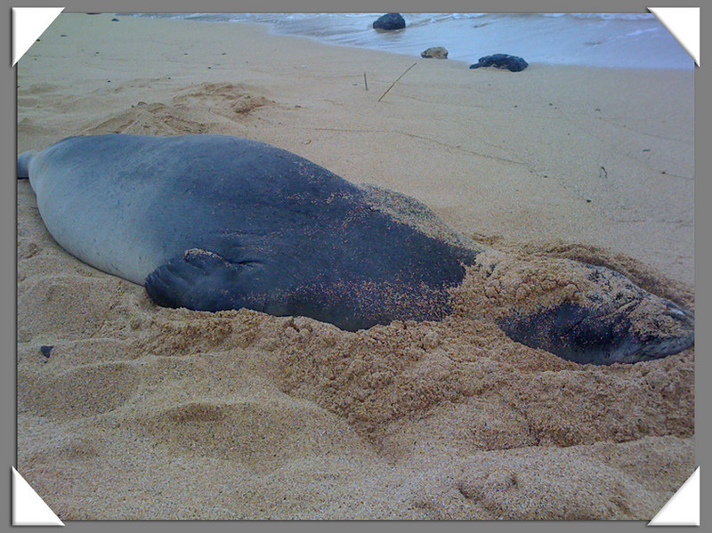 Monk seal on Poipu Beach.  We saw 5 in all, and they are endangered.