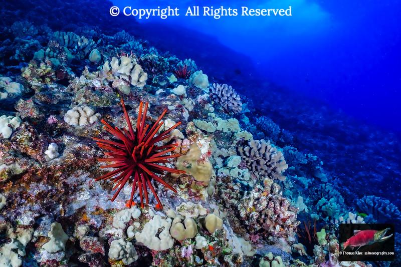 Red Slate Pencil Urchin
