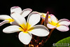 Hawaiian Plants & Flowers :