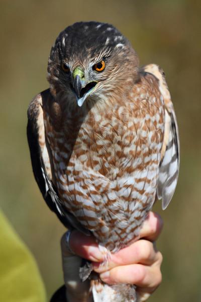 Adult Cooper's Hawk - Hawk Ridge, Duluth, MN