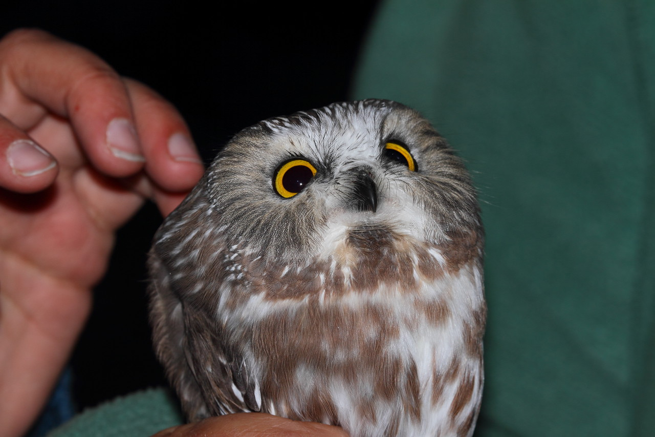 Saw-whet Owl at Hawk Ridge, Duluth, MN