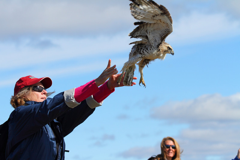 Release at Hawk Ridge Banding Operation in Duluth, MN