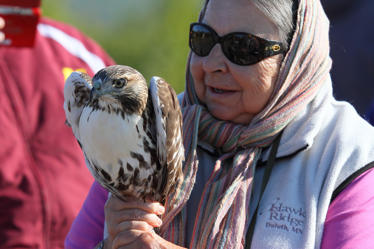 Preparing for release of this redtail hawk at Hawk Ridge.  I really like the expression on this woman's face.  It shows how much people enjoy this opportunity.