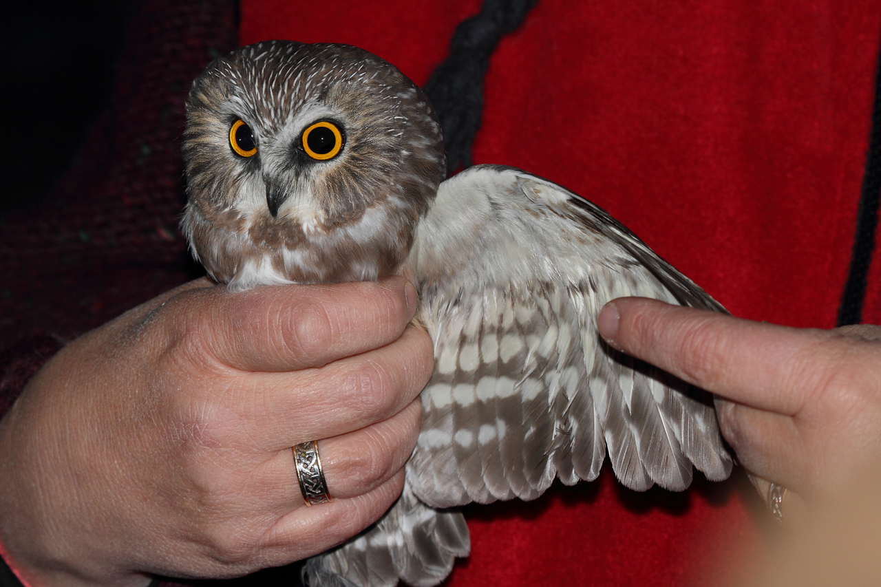 Saw-whet owl at Hawk Ridge, Duluth MN.  The womans hand is a good reference for the small size of these common, yet rarely seen bird.