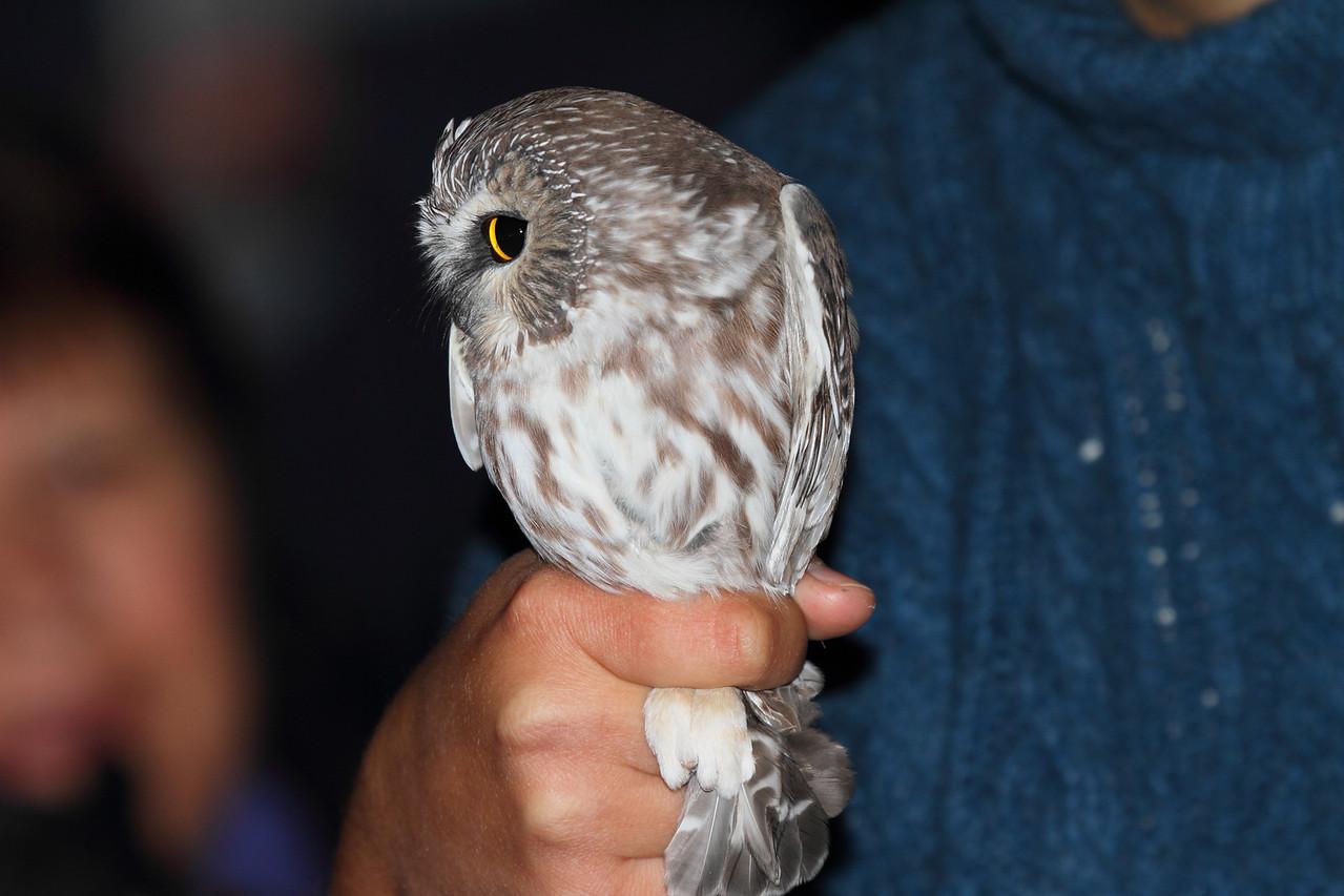 Saw-whet owl at Hawk Ridge, Duluth MN