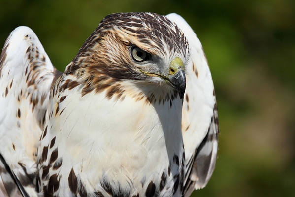 Redtail Hawk at Hawk Ridge, Duluth MN