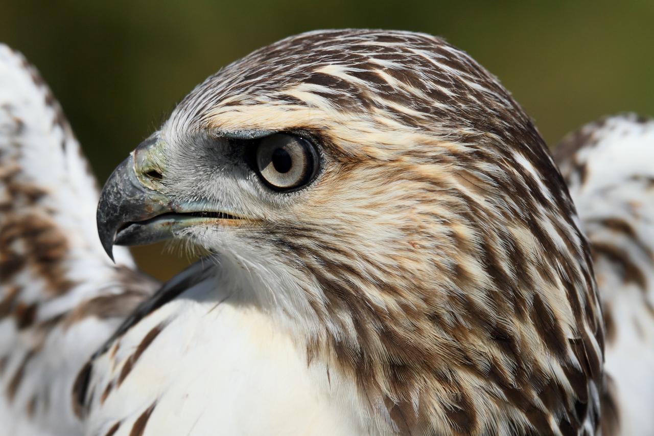 Redtail Hawk at Hawk Ridge, Duluth, MN