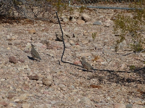 on our way to visit Hoover Dam, we spied a covey of quail in the park.  Ace managed to snap a shot of some of them
