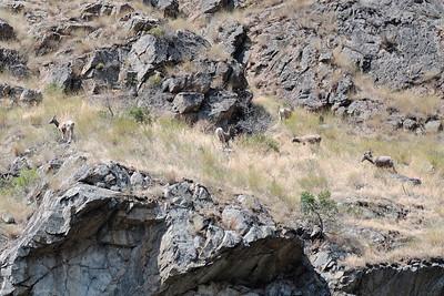 Big Horn Sheep, Hells Canyon, July, 2009