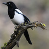 MAGPIE AT EAGLECREST