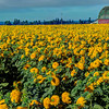 SUNFLOWER FIELD, SALEM, OREGON