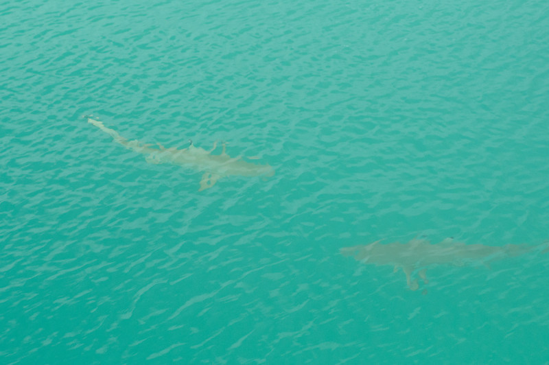 Reef sharks swimming just off the dock