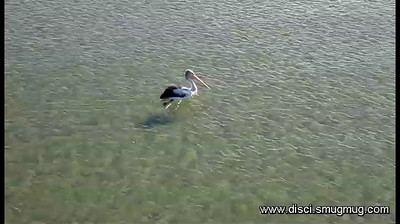 Video: One big Pelican.