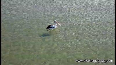 Video: One big Pelican.