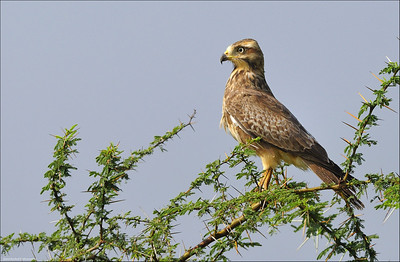 White-eyed Buzzard...