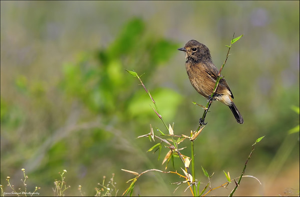 Pied bushchat ( female )