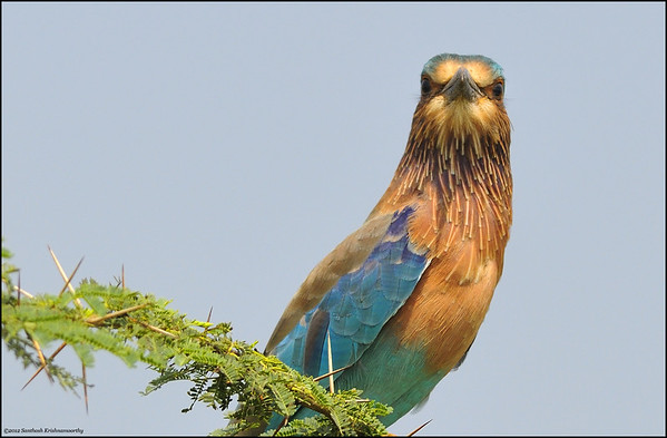 One Angry Bird.....! .. ( Indian Roller )