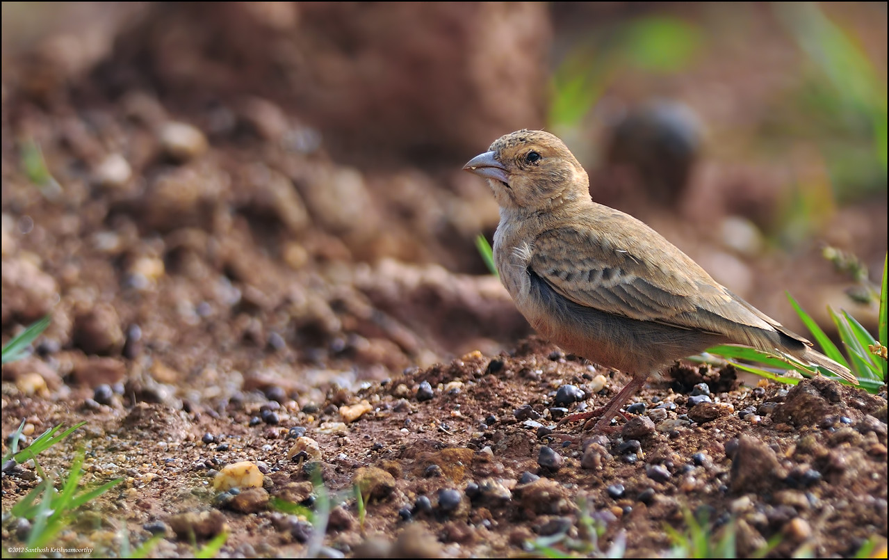 Ashy crowned sparrow lark ( female )