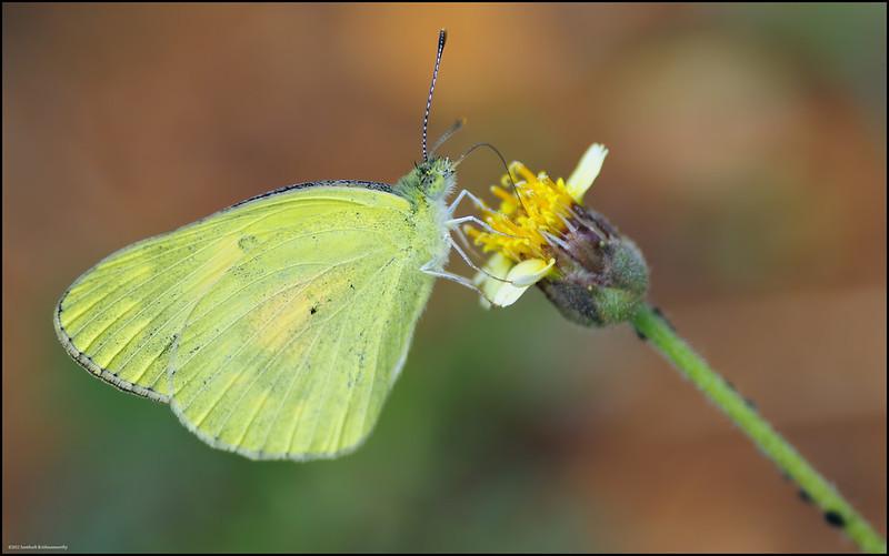 Common Grass Yellow... ?