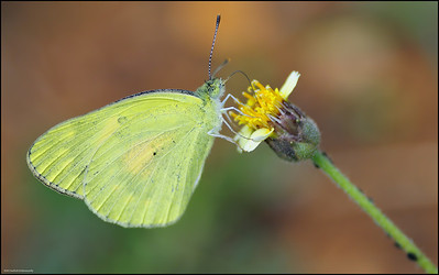 Common Grass Yellow... ?