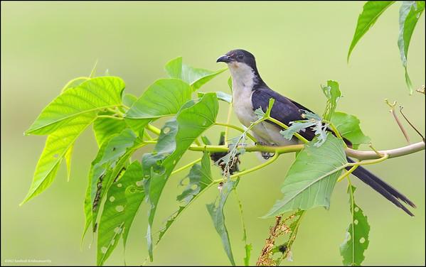 Pied Cuckoo