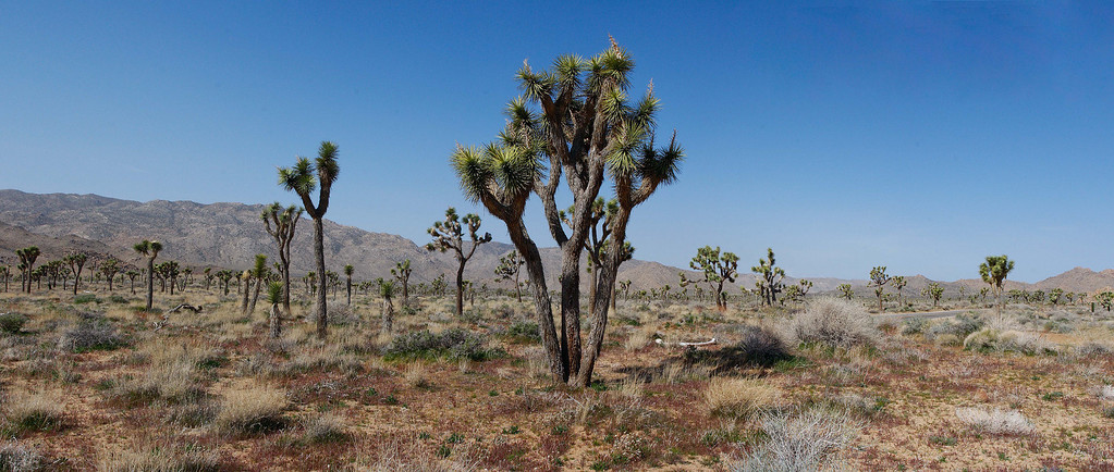 Joshua Tree National Park.  I love this place and it's not because that I am a senior and we get in for FREE, it's just something about the high desert.  Maybe if it was the dead of summer, then I might not like it.  Anyway, about six images stitched together.