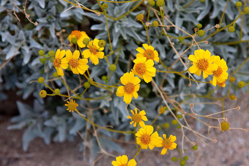 Flowers in Anza Borrego on the northeast side of the park