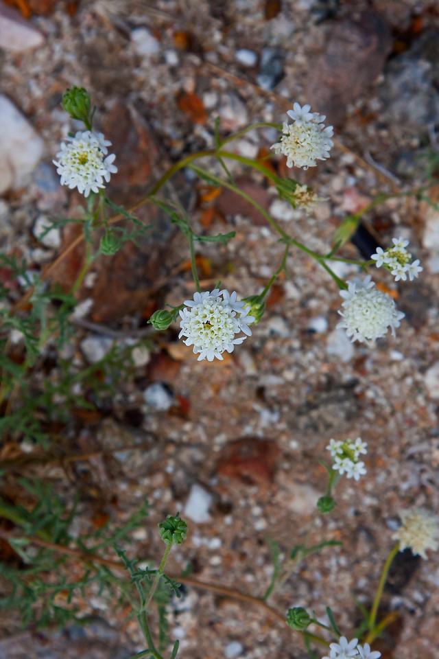 Wildflowers on the Anza-Borrego Desert 3/26/11