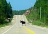 Moose, Obstacle Hazard
