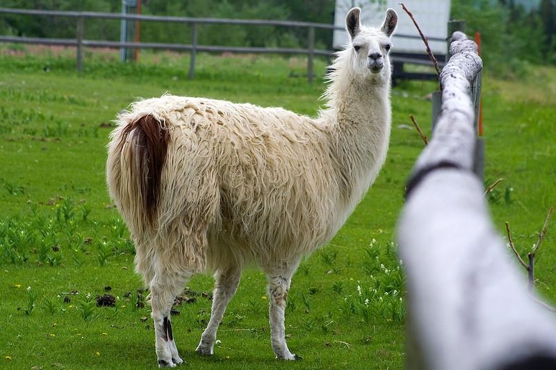portly llama at the Highwood Inn