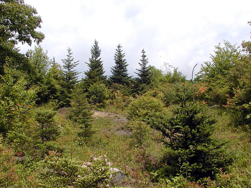 A sample of what one area of this bald looked like. Fir trees and heath vegetation.