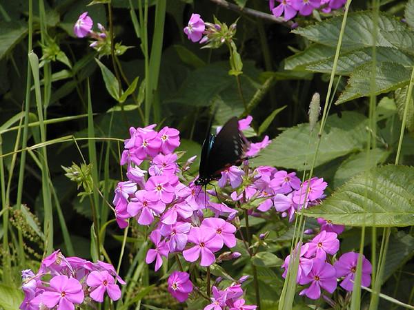 Swallowtail on Purple Phlox