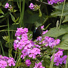 Swallowtail on Purple Phlox