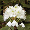 Very white Rosebay Rhododendron. It is starting to drop a few blooms. The season for this flowering shrub is drawing to a close.