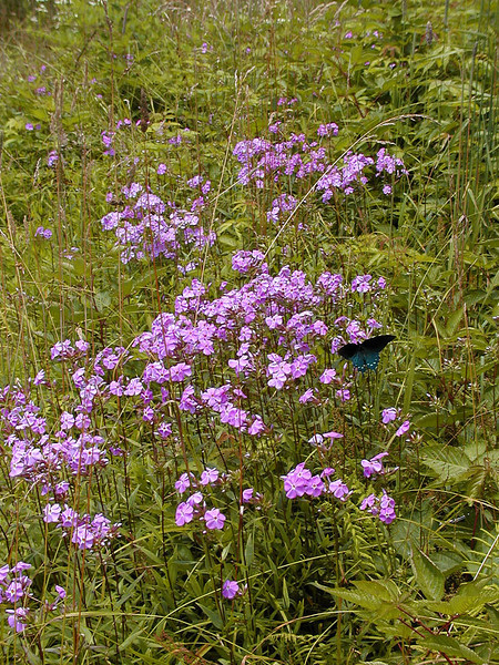 Purple phlox was the third most abundant flowering species on the bald today.