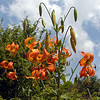 Orange Turks Cap Lilies against blue sky