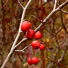 Closeup of Hawthorne berries Mayhaws!